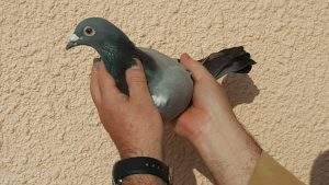 1 pomba comunicada Igualada